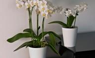 Clivio Orchidea